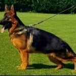 Young German Shepherd Male for Sale in Hungary petworldglobal.com