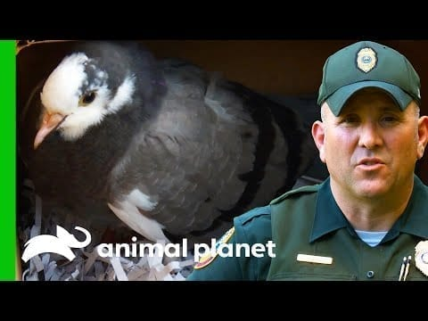An Injured Pigeon Is Taken To Rehab | North Woods Law petworldglobal.com