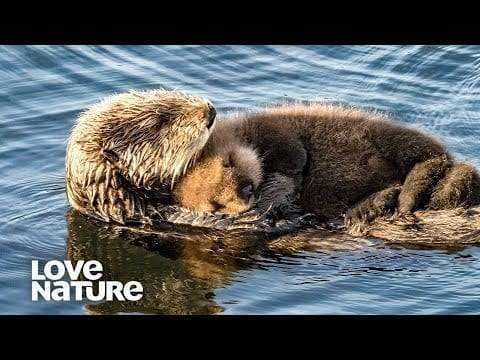 Baby Otter Snuggles On Mom's Belly | Love Nature petworldglobal.com