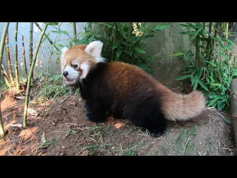 Baby Red Panda Wrestles Bamboo petworldglobal.com
