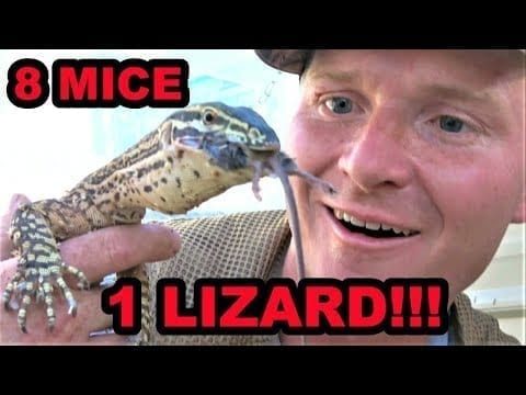 Destroy Mouse Infestation With Trained Lizard?!?!?!?!? petworldglobal.com