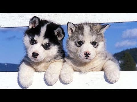 Funny and Cute Husky Puppies Compilation 2020 - Cutest Husky #07 petworldglobal.com