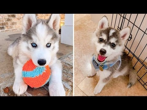Funny and Cute Husky Puppies Compilation 2020 - Cutest Husky #08 petworldglobal.com