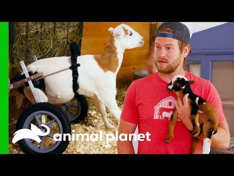 Heartwarming Goat Recovery Stories | Saved by the Barn petworldglobal.com