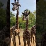 Home Safari ZooFari Edition – Giraffe – Cincinnati Zoo petworldglobal.com