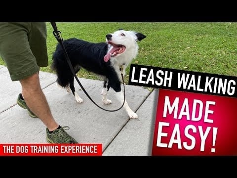 How To Train Your Dog to Walk Perfectly! This is all you have to do! petworldglobal.com