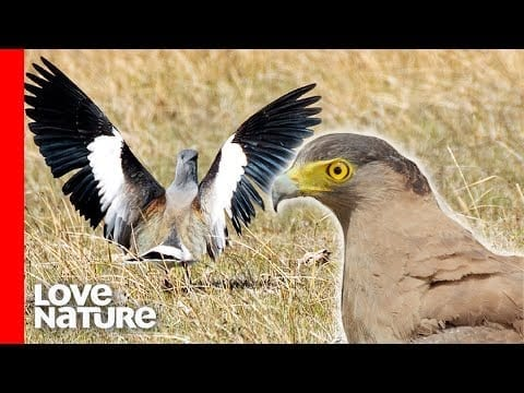 Lapwing Bird Parents Protecting Chicks From Eagle | Battle for Survival | Love Nature petworldglobal.com