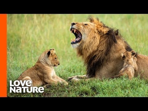 Lion Father Hunts For His Family | Predator Perspective | Love Nature petworldglobal.com