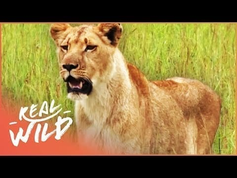 Lions Hunting In The African Plains (Lion Documentary) | Lodging With Lions S1 EP10 | Real Wild petworldglobal.com