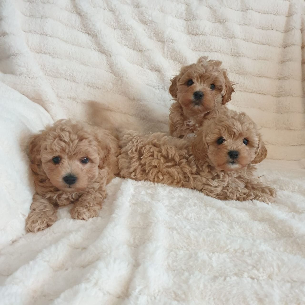 Active Maltipoo Puppies Available
