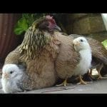 Mama Hen ?Protecting baby Chicks ? Awesome mother animals protect their cute baby animal Videos petworldglobal.com