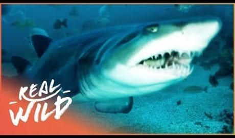Ragged Tooth: The Sharks Of South Africa (Wildlife Documentary)   Ragged Tooth   Real Wild petworldglobal.com