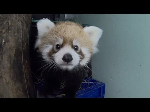 Red Panda Cub Squeaks And Climbs Around petworldglobal.com