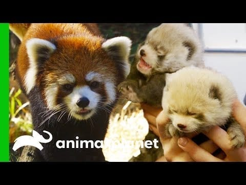 Red Panda Gives Birth To Adorable Cubs | The Zoo petworldglobal.com