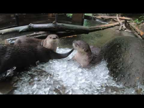 River Otters Love Playing And Sliding In Ice petworldglobal.com