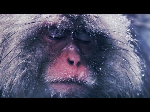 Slow Down With Snow Monkeys - Rest | Mindful Escapes | BBC Earth petworldglobal.com