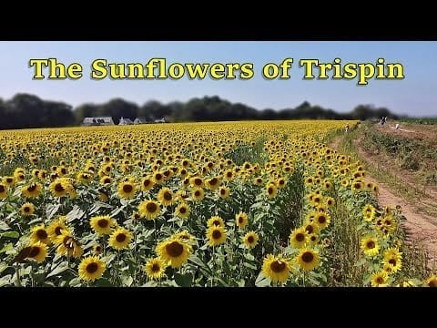 The Sunflower Field of Trispin - Cornwall by Drone ~ Filmed using a DJI Mavic Mini Drone petworldglobal.com