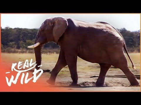 Walking With Elephants (Wildlife Documentary) | Real Wild petworldglobal.com