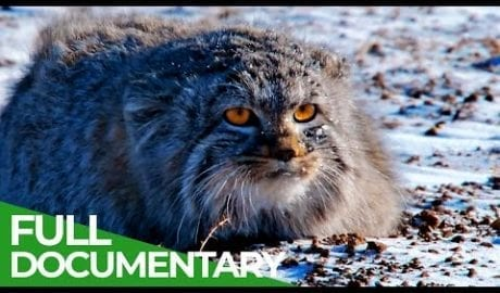 Wildlife Instincts: Pallas's Cat - Master of the Plains   Free Documentary Nature petworldglobal.com