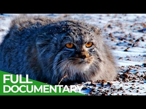Wildlife Instincts: Pallas's Cat - Master of the Plains | Free Documentary Nature petworldglobal.com