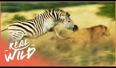 Zebra Fights Off Attacking Lion (Wildlife Documentary)   Lodging With Lions S1 EP11   Real Wild petworldglobal.com