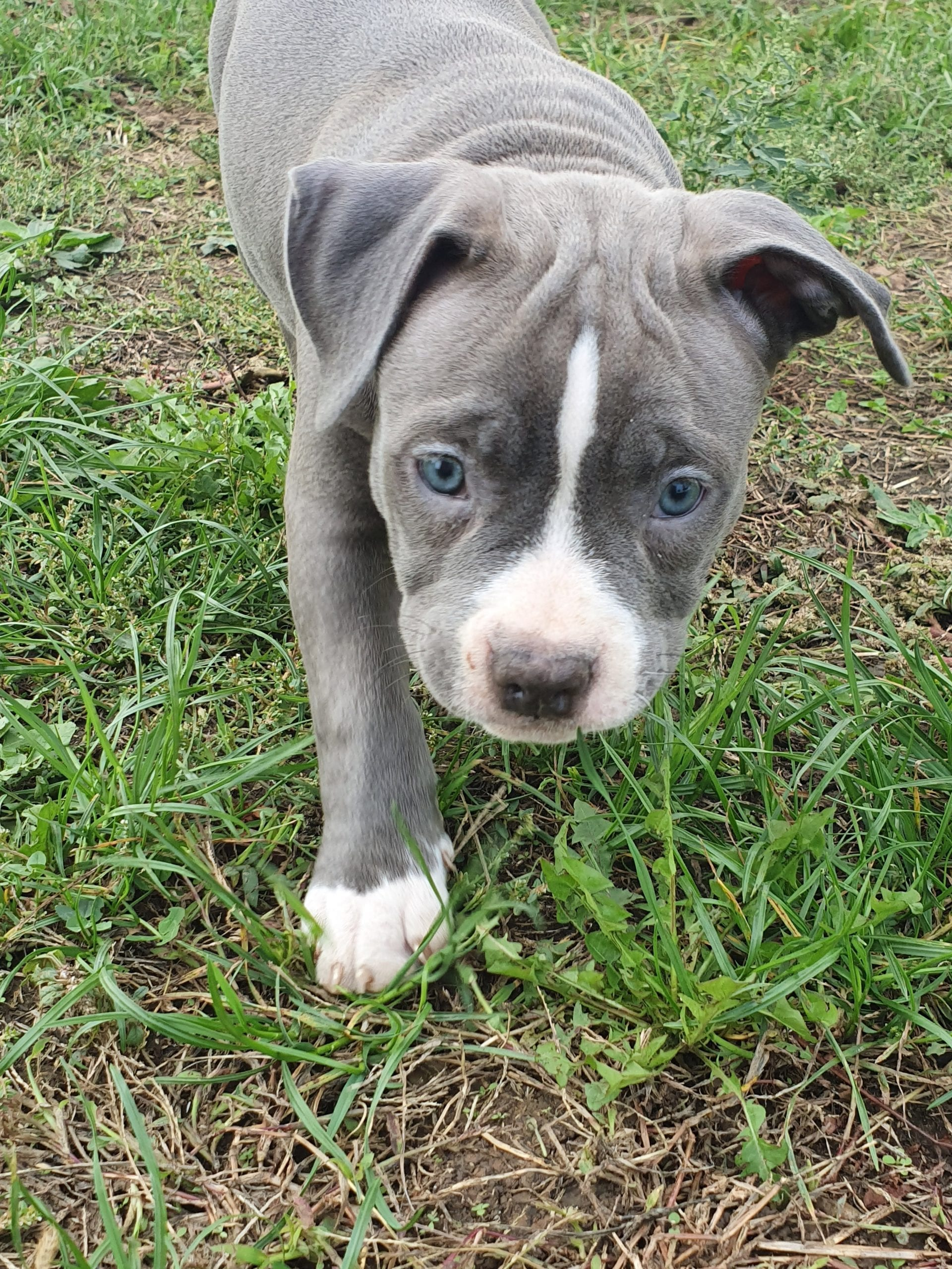 American Bully Puppies for Sale - Sell American Bully Puppy