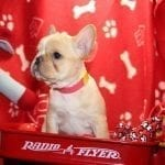 Lovely French Bulldog puppy for adoption