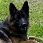 Asap vom Aldamar Daughter German Shepherd for Sale in Germany