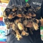 Adorable Yorkie Puppies For Rehoming Cute Yorkie Babies For Sale AKC yorkies puppies for sale