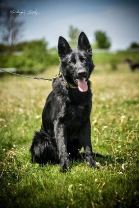 Black Working Line German Shepherd for Sale
