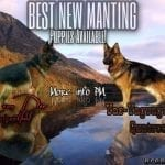 Excellent German Shepherd Puppies in Phoenix AZ Nero von Ghattas x Zorro von La'Mirage