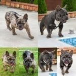 Exotic Color French Bulldog Puppies for Sale French Bulldog Colors Rare