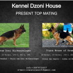 Import World Class German Shepherd Puppies for Sale petworldglobal.com