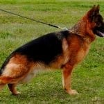 KKL1 German Shepherd for Sale TOP Male petworldglobal.com