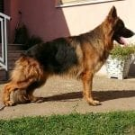 Long Haired German Shepherd Willas vom Aurelisbrandt son petworldglobal.com