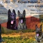 TOP Dark Sable German Shepherd Puppies in Czech petworldglobal.com