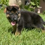 TOP German Shepherd Puppy for Sale in Miami, FL petworldglobal.com