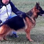 TOP Pregnant German Shepherd for Sale