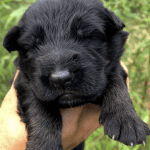 Very Dark German Shepherd Puppies for Sale in Alabama Gadsden petworldglobal.com