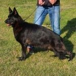 Very Nice Full Black Female German Shepherd for Sale in Germany