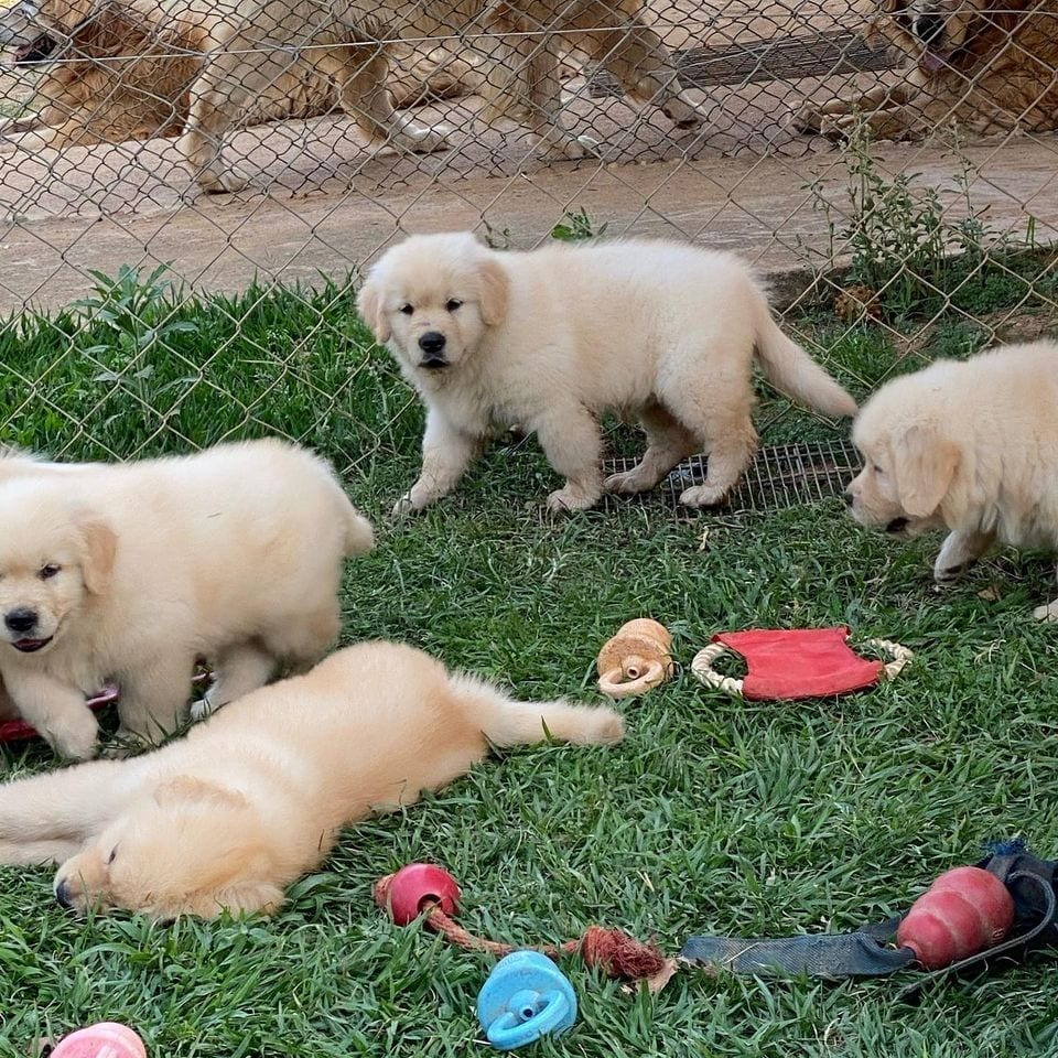 Home Raised Golden Retriever Puppies Available and Ready To Go Home