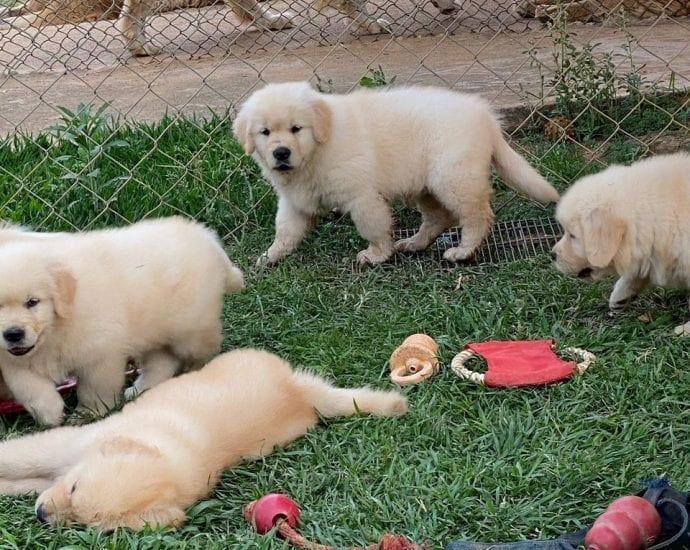 Gorgeous Golden Retriever Puppies Available