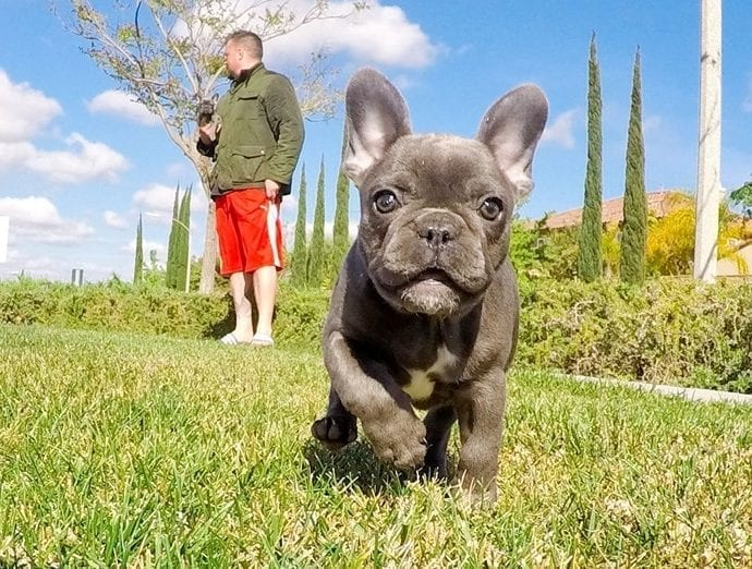 AKC Reg Blue French Bulldog Puppies