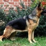 3 years old Male German Shepherd Beautiful