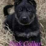 AKC Working Line German Shepherd Puppies