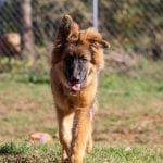 Beautiful Long Coat Sable German Shepherd Puppy