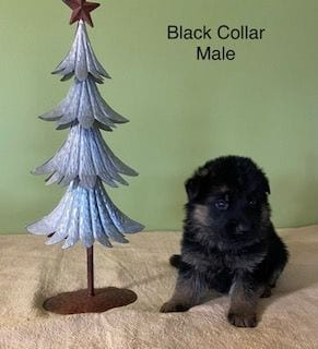 Christmas Puppies - German Shepherd Puppies