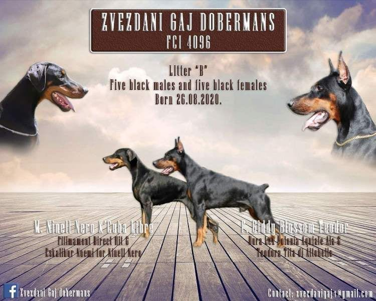 Doberman Puppies for Sale TOP Quality