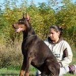 Doberman for Sale 100% EUROPE Brown Male