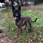 Dutch Shepherd Male for Sale in Netherlands